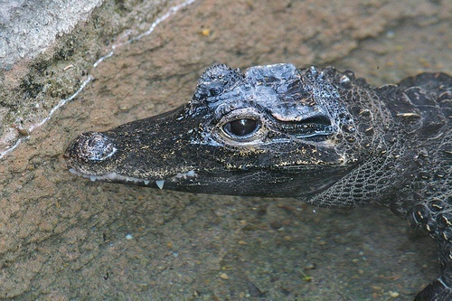 D is for Dwarf Crocodile Facts: A-Z Collection of Animals April 2015 Challenge