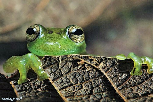 G is for Glass Frog Facts : A-Z Collection of Cool Animals Challenge