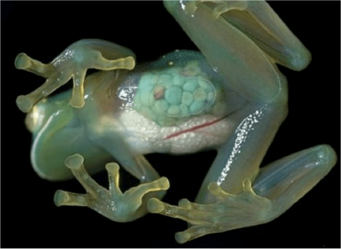G is for Glass Frog Facts : A-Z Collection of Cool Animals