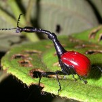 Amazing Facts about the Giraffe Weevil