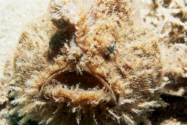 H is for Hairy Frogfish Facts : A-Z Collection of Cool Animals