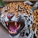 J is for Jaguar Attacks Crocodile Video, A-Z Cool Animals