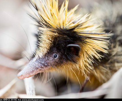 L is for Lowland Streaked Tenrec, A-Z of Really Cool Animals