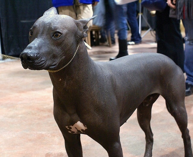 Mexican Hairless Dog X Is For Xoloitzcuintli A Z Collection