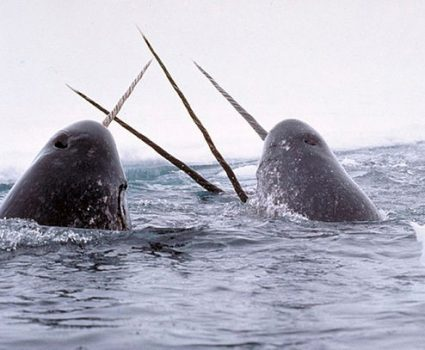 N is for Narwhal Facts : A-Z of Really Cool Animals