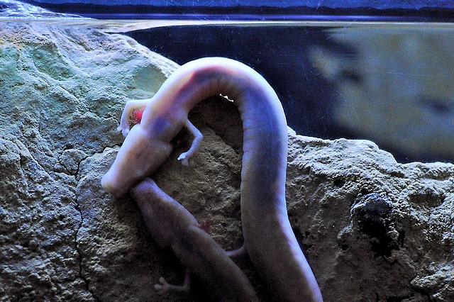 O is for Olm Blind Cave Salamander : A-Z of Cool Animals