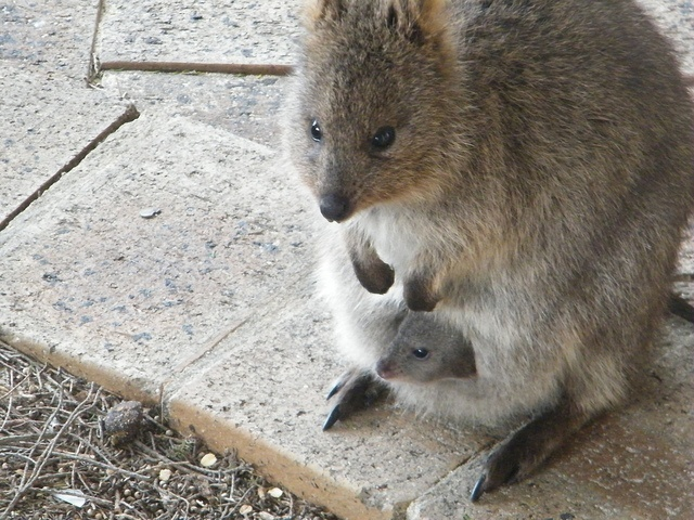 Q is for Quokka Facts : A-Z Collection of Really Cool Animals