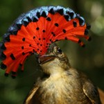 R is for Royal Flycatcher Facts : A-Z of Really Cool Animals