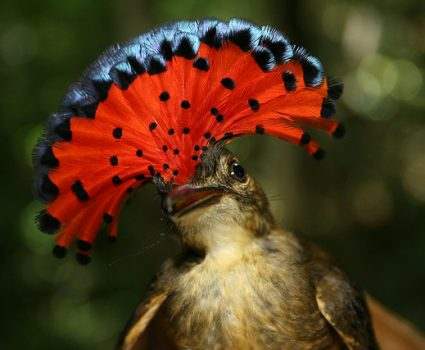 R is for Royal Flycatcher Facts : A-Z Collection of Really Cool Animals Challenge