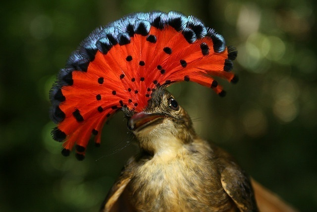 Royal Flycatcher Facts