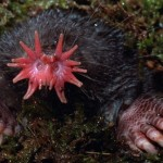 S is for Star Nosed Mole Facts : A-Z of Really Cool Animals