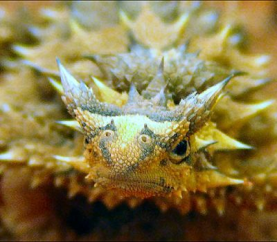 T is for Thorny Devil Lizard Facts : A-Z of Really Cool Animals
