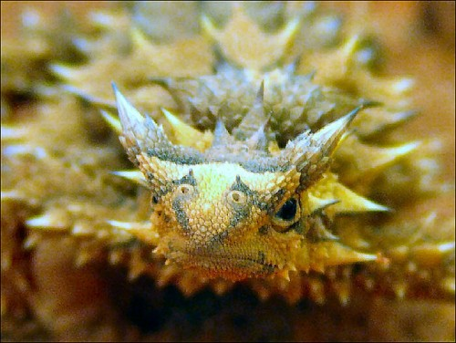T is for Thorny Devil Lizard Facts : A-Z Collection of Really Cool Animals
