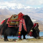Y is for Yak Facts : A-Z Collection of Really Cool Animals