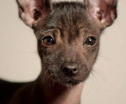 X is for Xoloitzcuintli (Mexican Hairless Dog) A-Z Collection