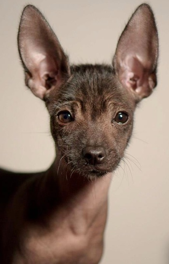 Mexican Hairless Dog, X is for Xoloitzcuintli, Xolo