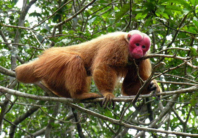 U is for Uakari Monkey Facts : A-Z Collection of Cool Animals