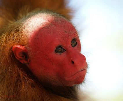 U is for Uakari Monkey Facts : A-Z Collection of Cool Animal