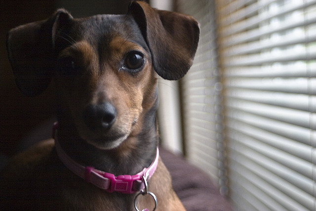 Chiweenies : Chihuahua and Dachshund Breed Mix