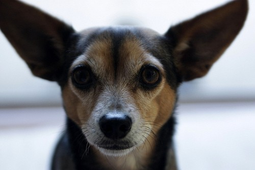 Chiweenies: Chihuahua and Dachshund Breed Mix - https://www.animalbliss.com