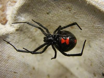 Adult Female Black Widow Spider
