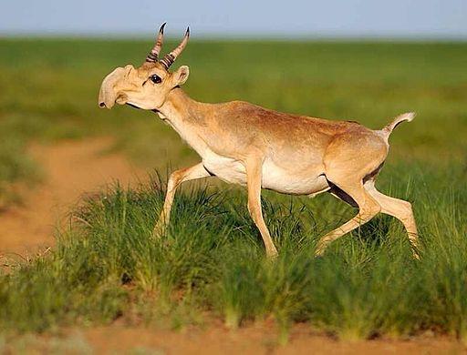 Endangered Saiga Antelope