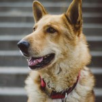 German Shepherd Mixes – Breed Profile