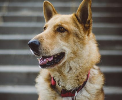 German Shepherd Mixes - Breed Profile
