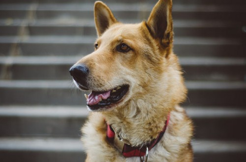 German Shepherd Mixes - Breed Profile : German Shepherds