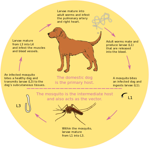 Heartworms in Dogs, Life Cycle