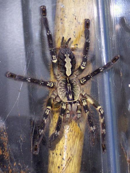 Fringed ornamental tarantula: Poecilotheria ornata