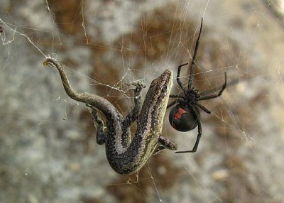 Redback spider: Latrodectus hasseltii