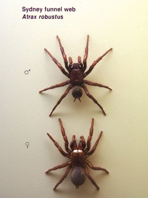 Sydney Funnel-Web Spider
