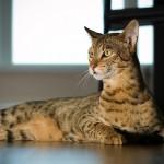 10 Ways a Savannah Cat Can Make You Healthier