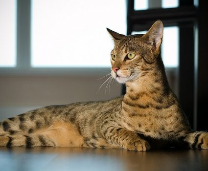 10 Ways a Savannah Cat Can Make You Healthier