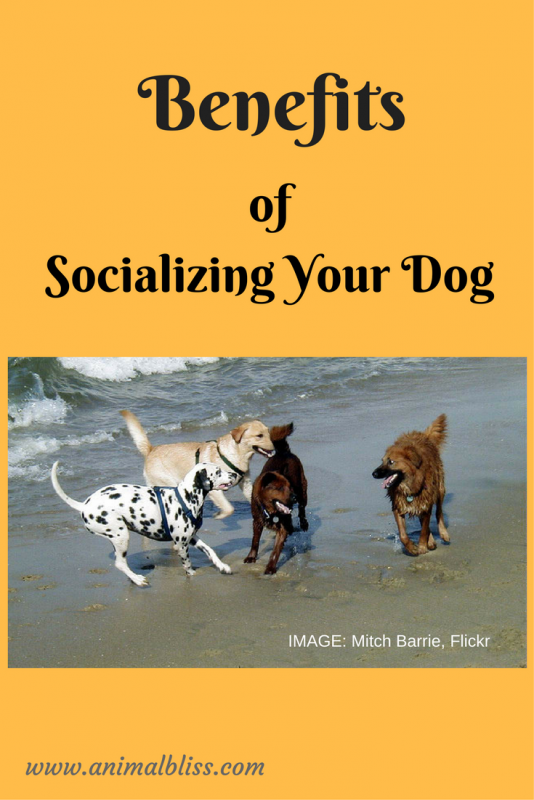 The Benefits of Socializing Your Dog are many. www.animalbliss.com