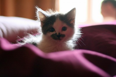 Feline Panleukopenia: Definition, Symptoms, Diagnosis, Treatment