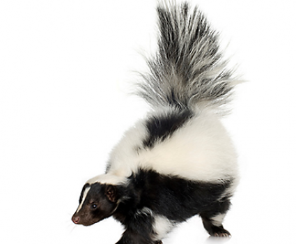 We're Getting a Skunk!  Yes, It's True!
