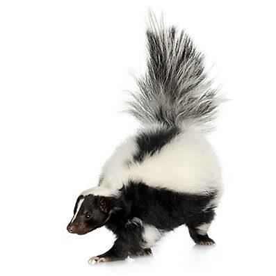 We're Getting a Skunk!