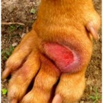 Hot Spots on Dogs : Development, Triggers, Treatment, Prevention