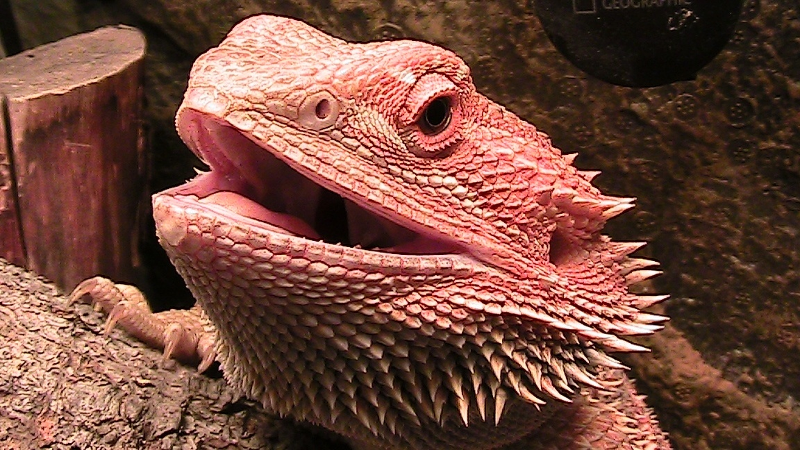 Reptiles as Pets : Things You Should Consider, #ReptileCare