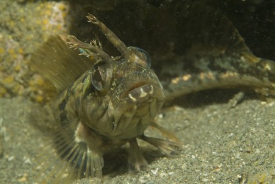 What is a Sarcastic Fringehead? Can you guess?