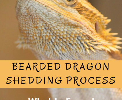 Is your Bearded Dragon looking a dull, grayish? It's most likely going through the Bearded Dragon shedding process. Read all about it here.