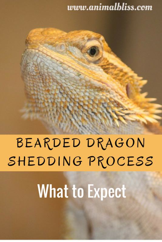 Bearded Dragon Shedding Process Reptile Shed What To
