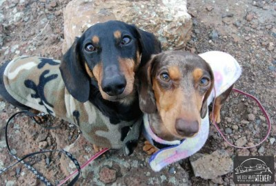 The truth about dachshunds, aka wiener dogs