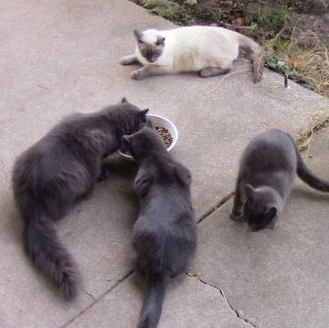 Ferals - Mister, Kitty, Sweetie, and Siam