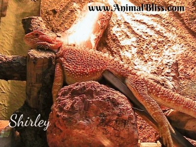 Getting a Bearded Dragon? Here's what you will need.