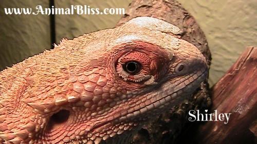 Dragon shedding process
