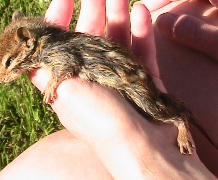 We Found a Drowning Chipmunk in Our Pond