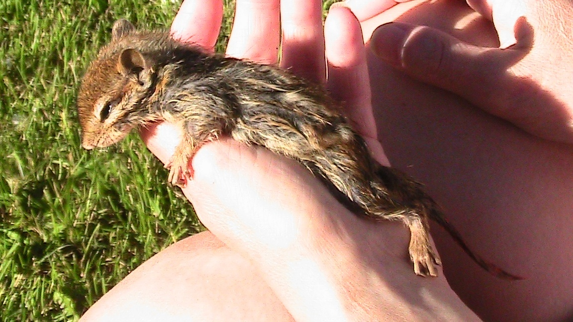 The day we found a drowning chipmunk in our pond. We did a good thing. Click on the link to see short video, and see what happened after.